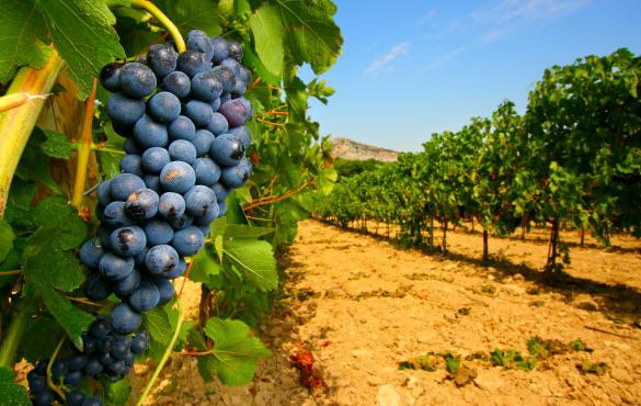 vino uva vigneti toscana