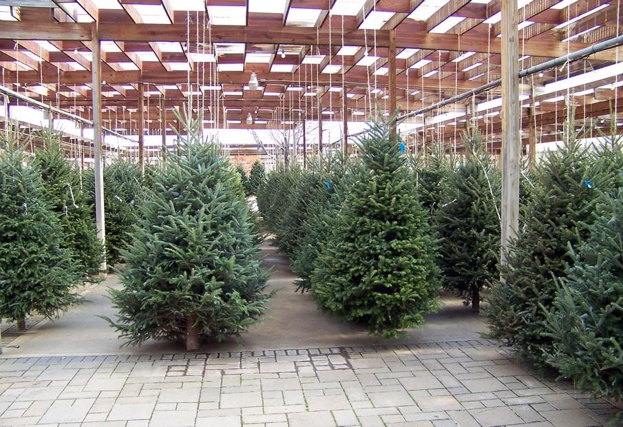 Albero Di Natale Vero Prezzo.Quasi 4 Milioni Di Famiglie A Caccia Dell Albero Di Natale Vero Dire It