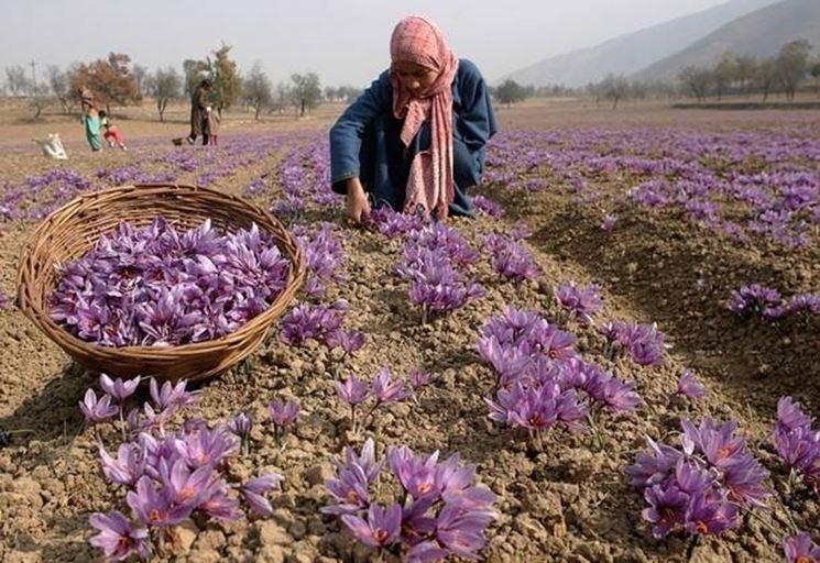 coltivazione-zafferano