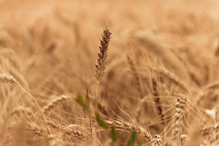 Prezzo del grano, gli agricoltori Cia annunciano lo sciopero della semina