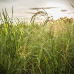 riso_agricoltura_