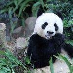 jia-jia-panda-gigante