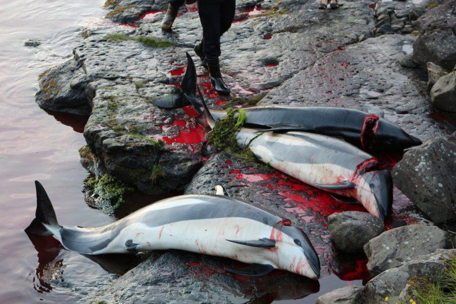 elfini massacrati a Hvalba, nelle Isole Faroe, nel 2013. Foto: Sea Shepherd