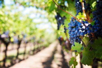 vino_vigna_vigne