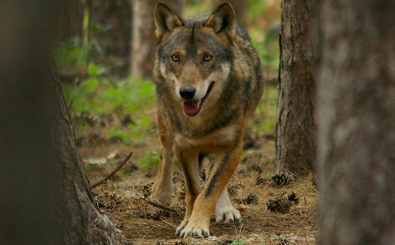 A Parma il primo festival per non avere paura del lupo