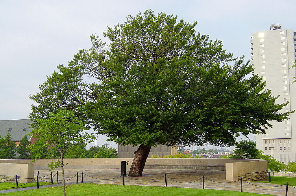 Da cenere a monumento: oggi a Ferrara l'incredibile storia del 'Survivor tree' di Oklahoma City