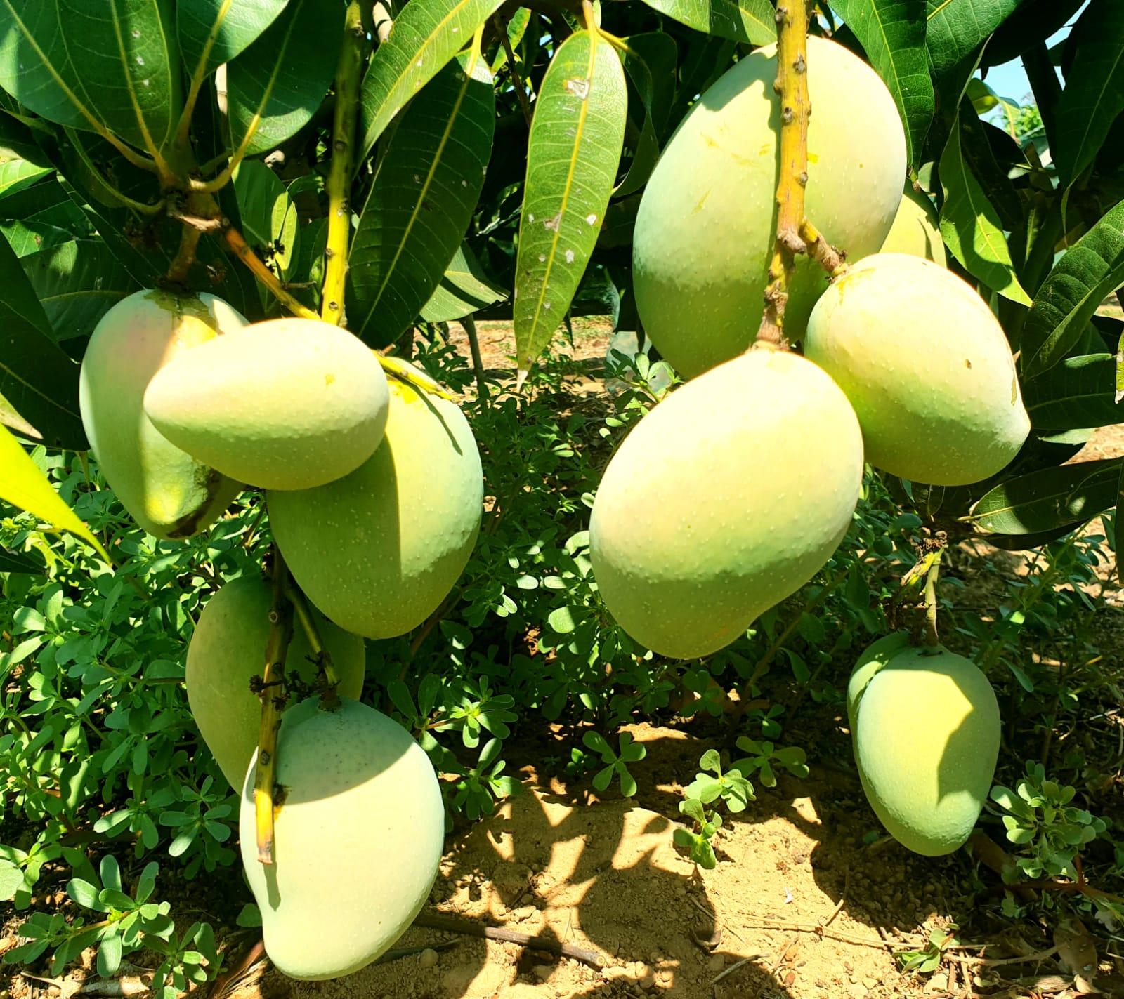 Come Piantare Il Mango in sicilia anche gli avocado soffrono l'emergenza climatica