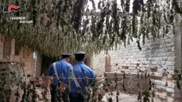 VIDEO |  Scoperte 7 mila piante di marijuana in provincia di Reggio Calabria