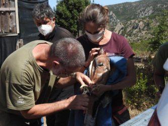 Arrivate in Sardegna sette nuove aquile di Bonelli
