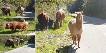 animali_strada_tevere_roma (1)