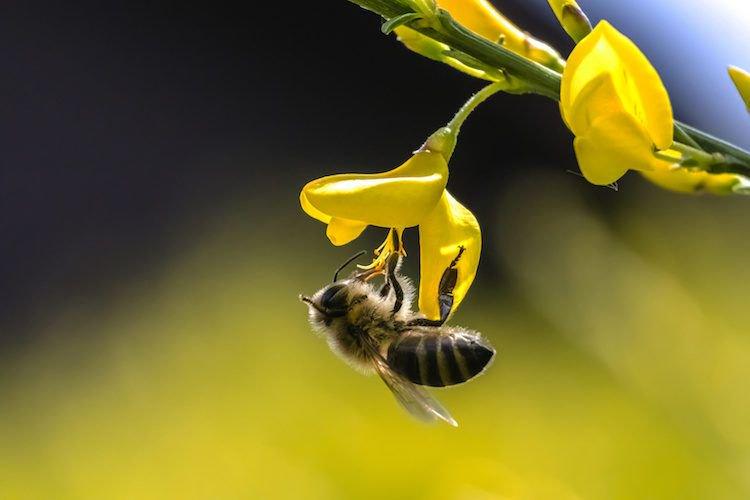 api ape insetti fiore