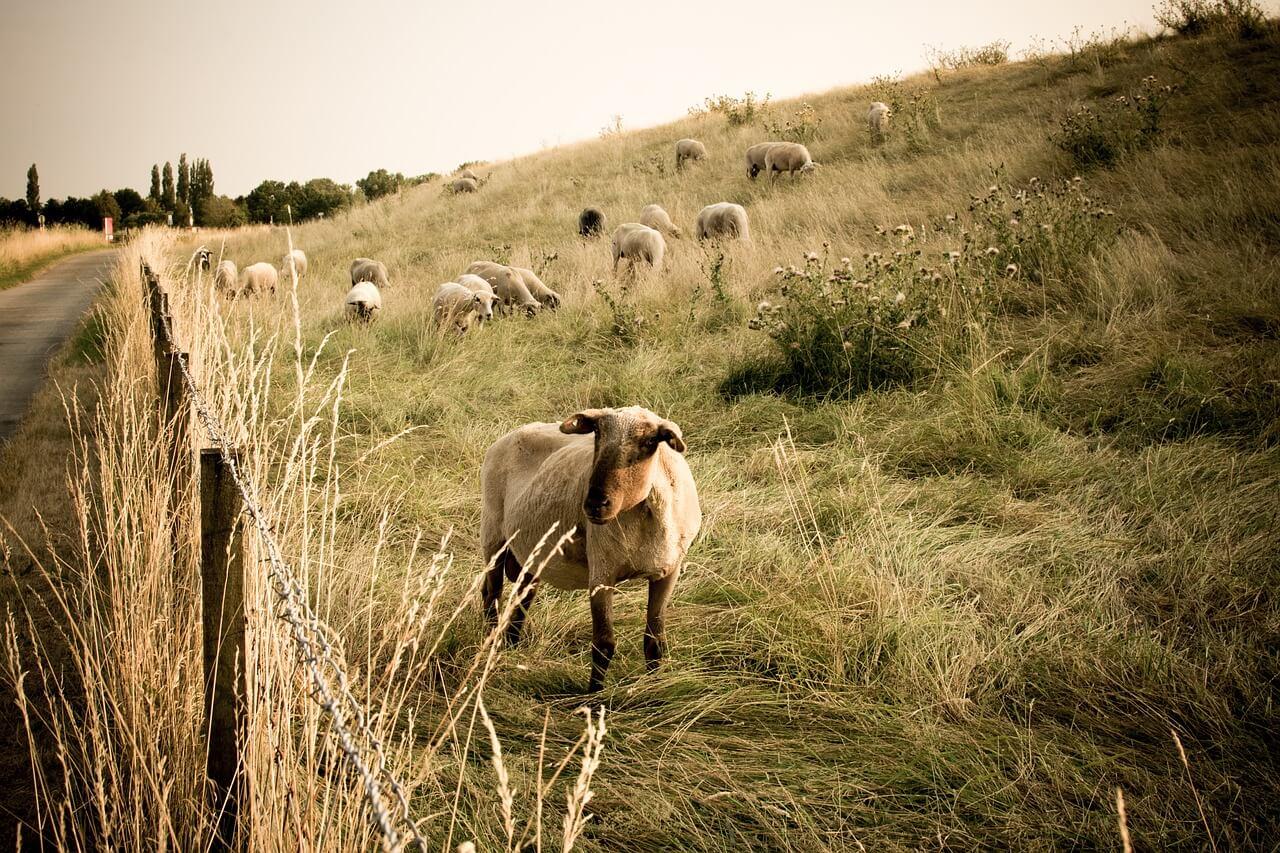 pecore_pastore