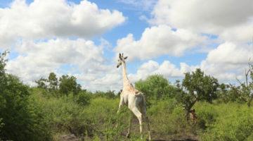 giraffa_bianca