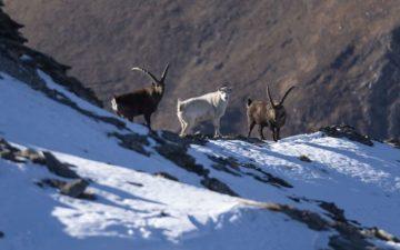 Stambecco bianco della Val Susa, confermata la sua presenza sul Monte Palon
