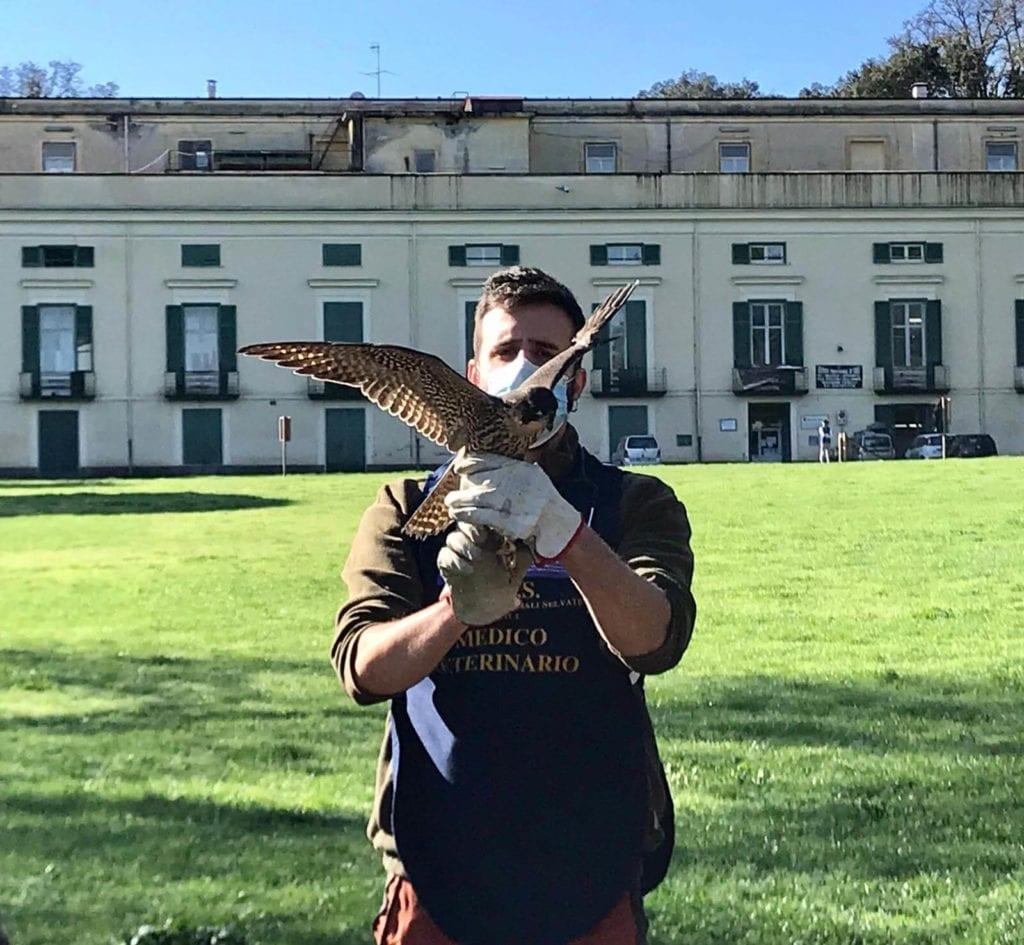 falco e gheppio Bosco di Capodimonte