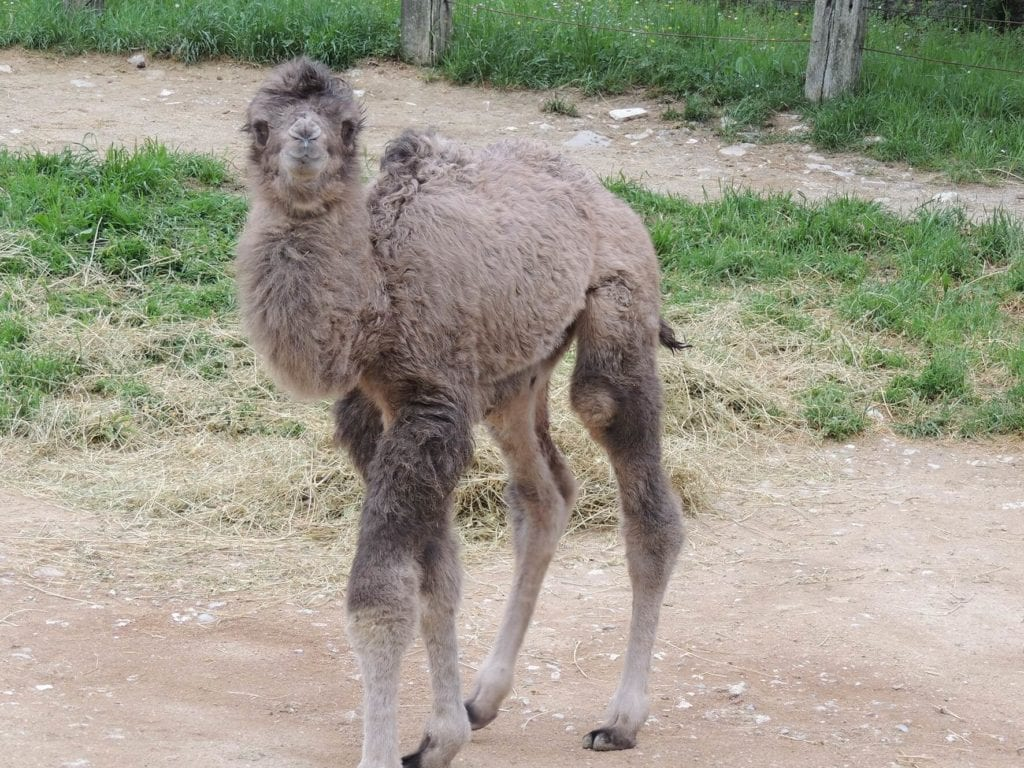 cucciolo cammello2