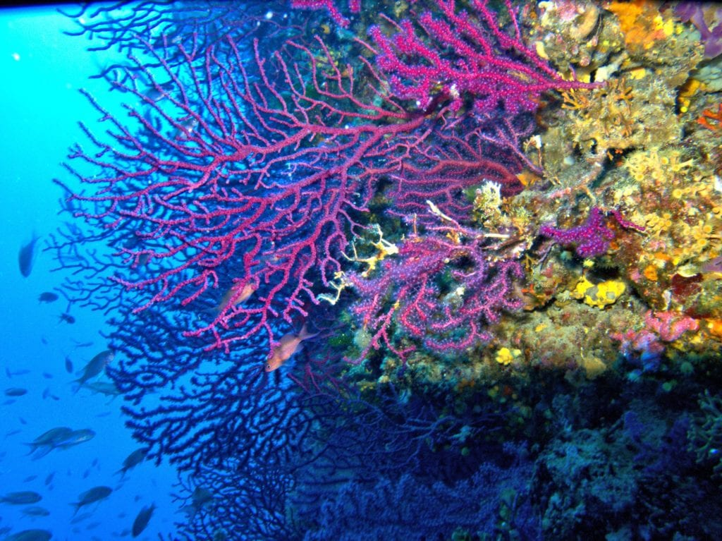 Lorenzo Merotto Paramuricea clavata coralligeno