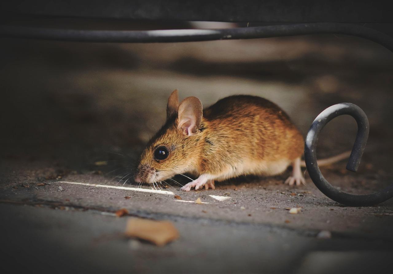 topo ratto topolino roditore
