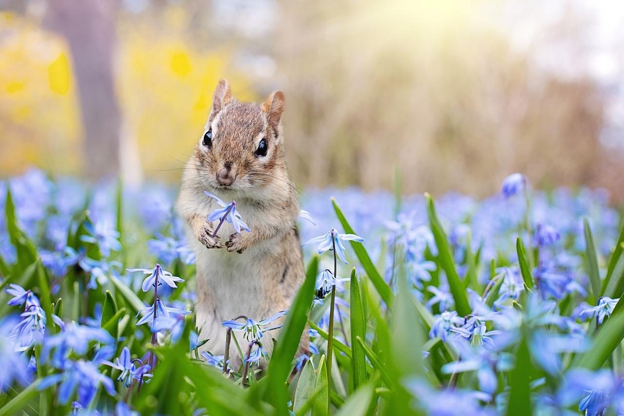 scoiattolo grigio scoiattoli