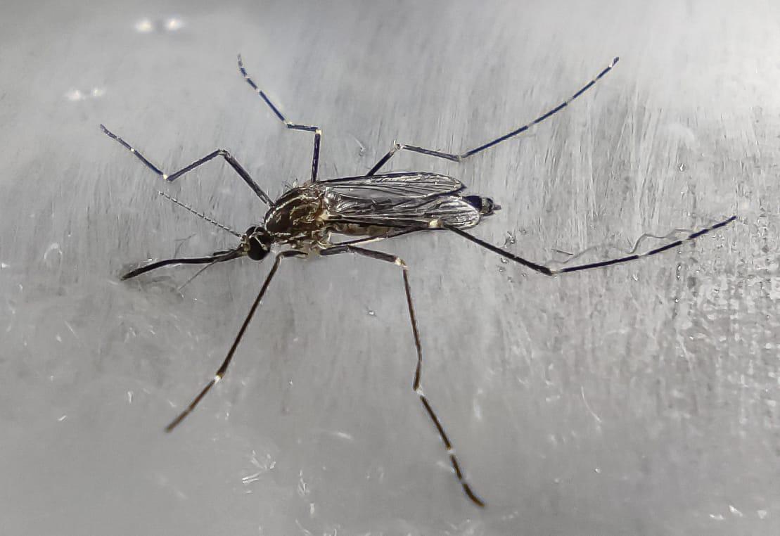 zanzara coreana resistente al freddo