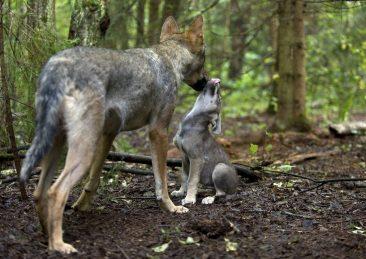 ©-Wild-Wonders-of-Europe-Sergey-Gorshkov-WWF