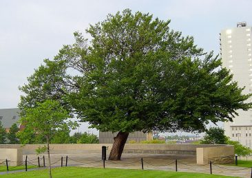 Foto-di-Dustin-M.-Ramsey-via-Wikipedia-The_Survivor_Tree_at_the_Oklahoma_City_National_Memorial