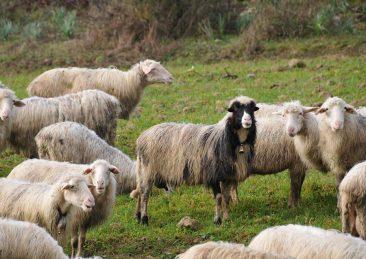 pecore sardegna