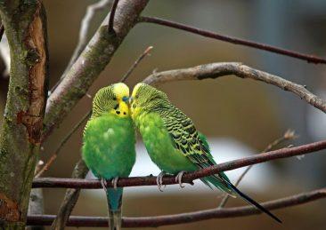 pappagalli verdi parrocchetti