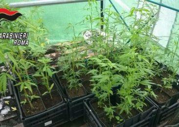coltivazione_marijuana1