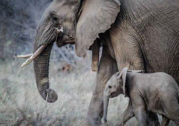 elefanti2