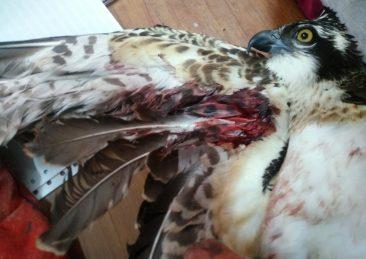 falco-pescatore