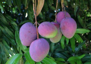 frutti brasile