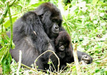 gorilla-virunga
