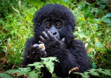 gorilla_virunga2