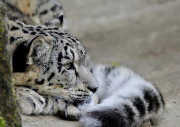 leopardo-delle-nevi-5