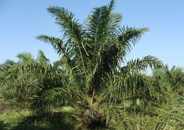 oil-palm-287899_960_720