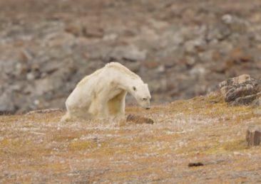 orso-polare-affamato