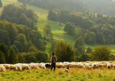 pecore_pastore-2