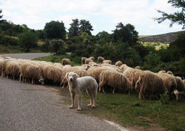 pecore_sardegna