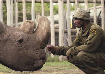 rinoceronte-bianco