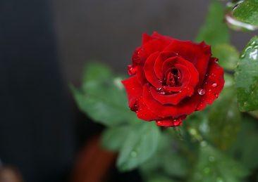 rosa-rossa