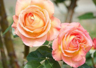 rose_gen1