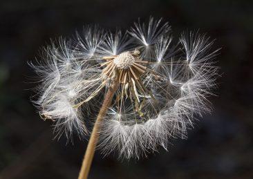 soffione_pollini_allergia
