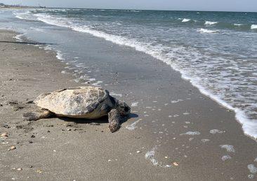 tartaruga-adriatico
