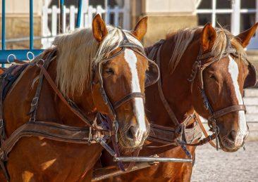 cavalli carrozza