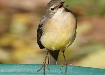 uccellino lipu uccello passero
