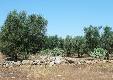 ulivi-puglia-salento