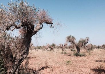 ulivi-xylella