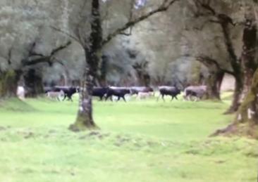 vacche-sacre_calabria